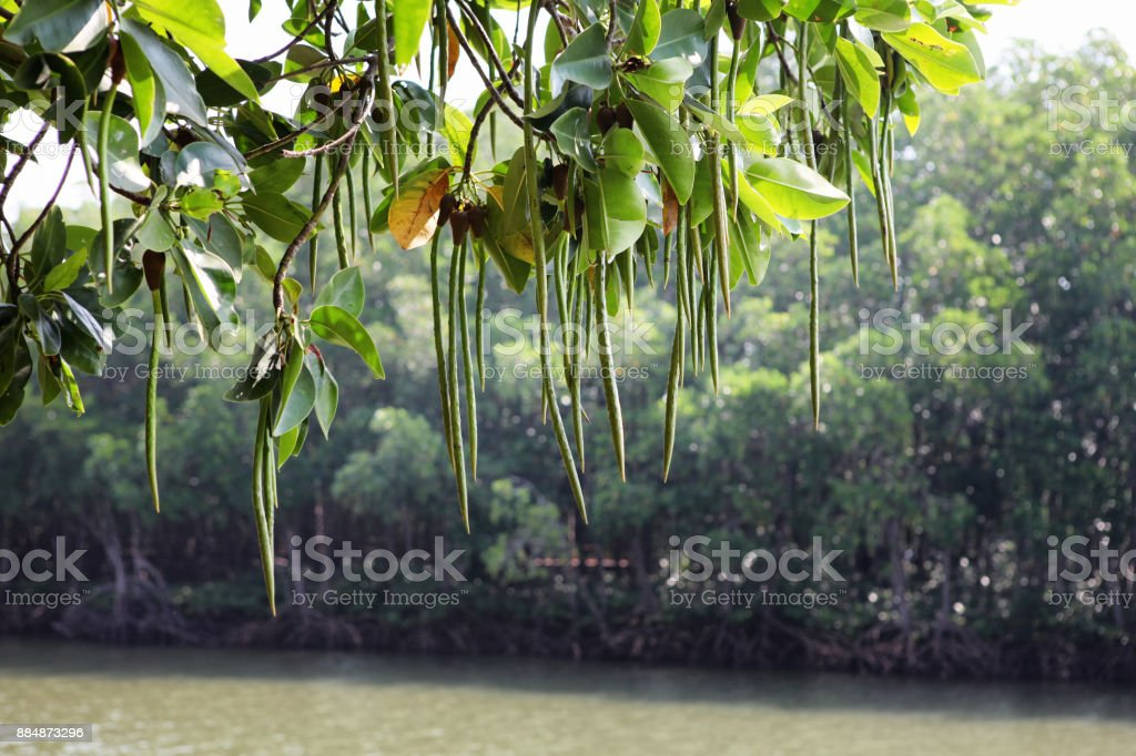 Thung Kha Bay mangrove forest, Chumphon, Thailand stock photo