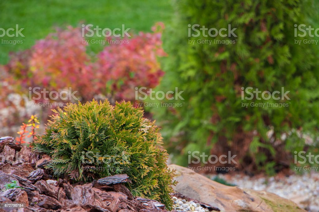 Thuya globular, growing in rockery, on a covered with pine bark surface stock photo