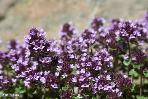 istock Thyme blossom 518180606
