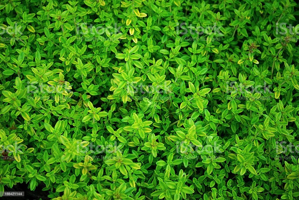 Thyme Close-Up stock photo