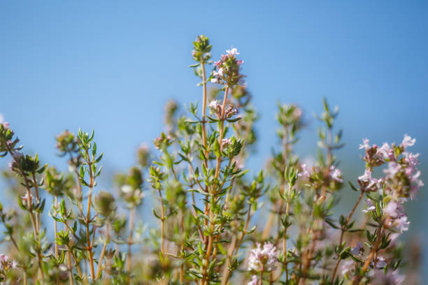 Thyme flowering in the garden, blue sky, copy space, no people, springtime cheerful image stock photo