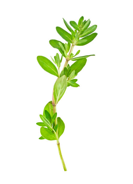 Thyme fresh herb isolated on white background Thyme fresh herb isolated on white background thyme photos stock pictures, royalty-free photos & images