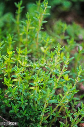 Common herb Thyme (Thymus vulgaris) growing in my herb garden. Notice the tiny leaves and the square stem which mark it as a member of the mint family.