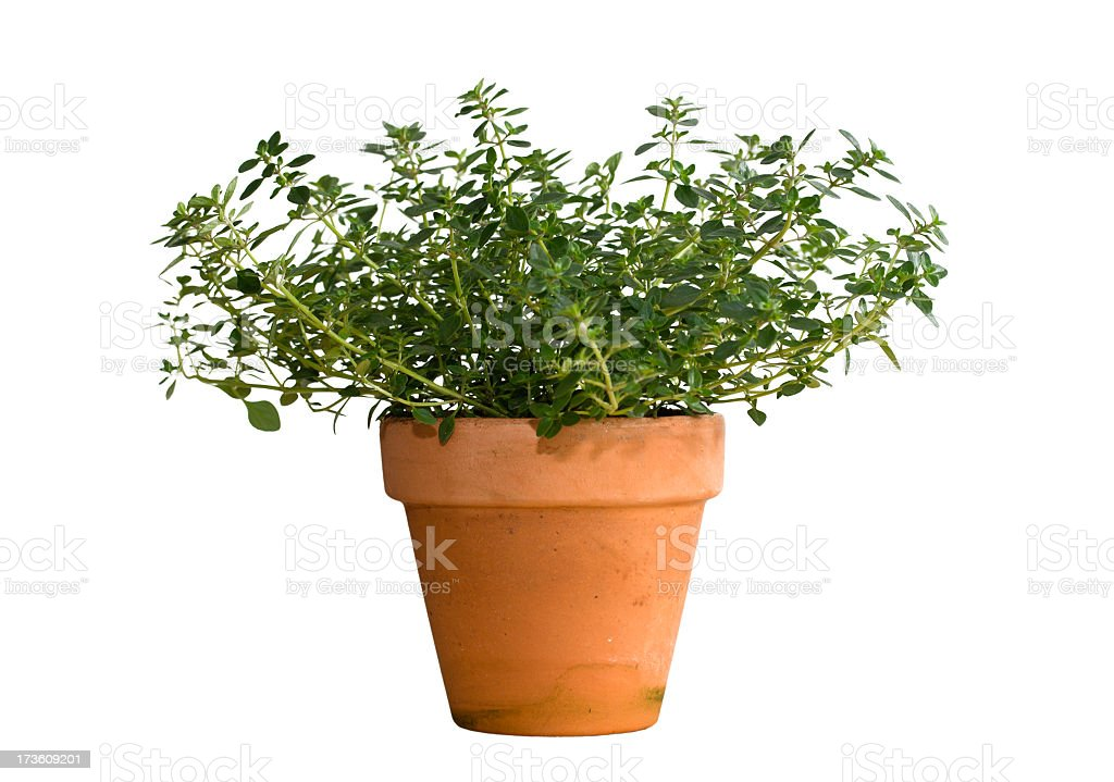 Thyme herb in terracotta pot. Isolated on white. royalty-free stock photo