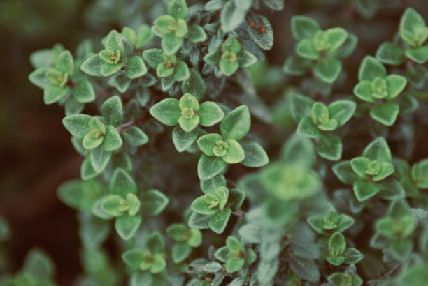 Thyme Herb Plant Close-Up Nature Background A Close-Up Nature Background of the Herb Thyme in Soft Focus. This variety is Lemon Thyme. thyme photos stock pictures, royalty-free photos & images