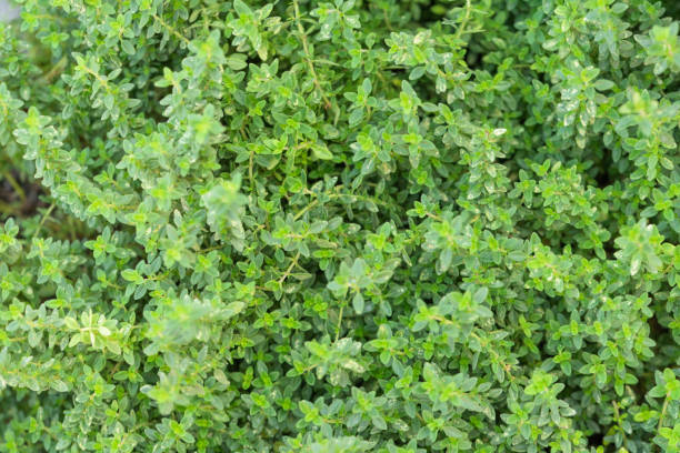Thyme herb plants for green garden background