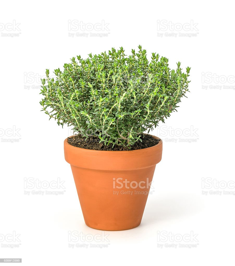 Thyme in a clay pot stock photo