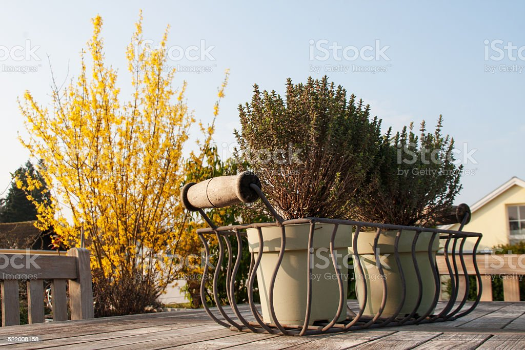 Thyme in flowerpot stock photo