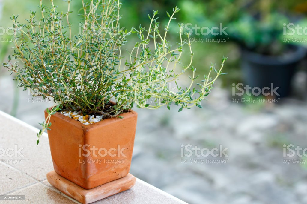 Thyme in the pot stock photo
