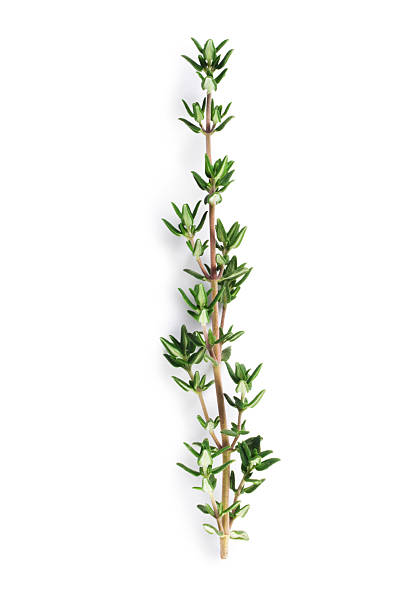 Thyme Sprig of fresh thyme isolated on white thyme photos stock pictures, royalty-free photos & images