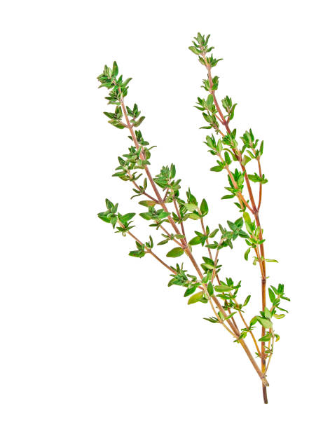 Thyme sprigs isolated on a white background Thyme sprigs isolated on a white background thyme photos stock pictures, royalty-free photos & images