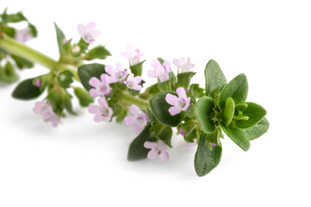 thyme with flowers stock photo