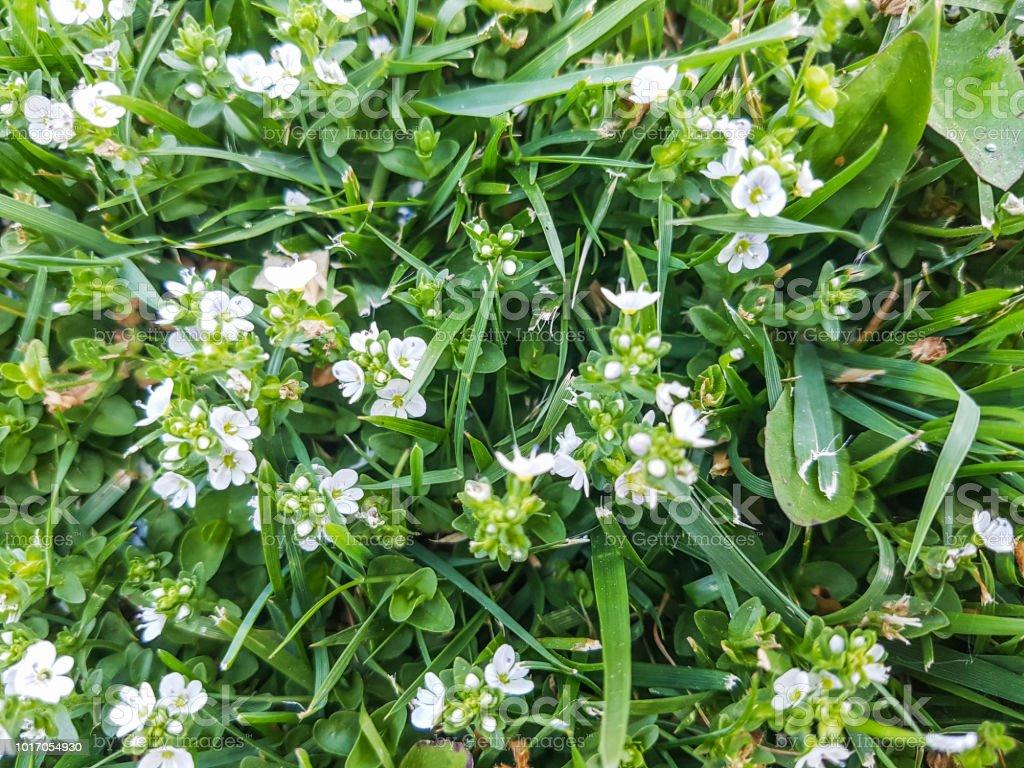 Thymeleaf o Verónica con hojas de tomillo - foto de stock