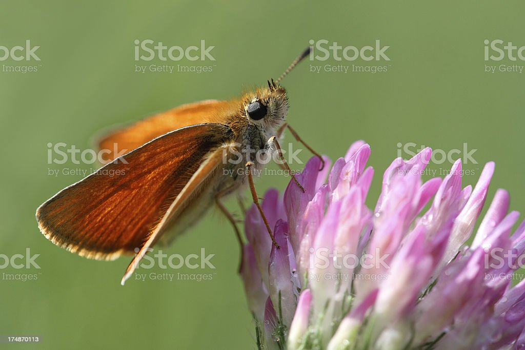 Thymelicus sp. royalty-free stock photo