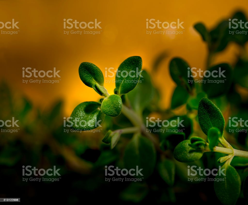 Thymus citriodorus fresh stock photo