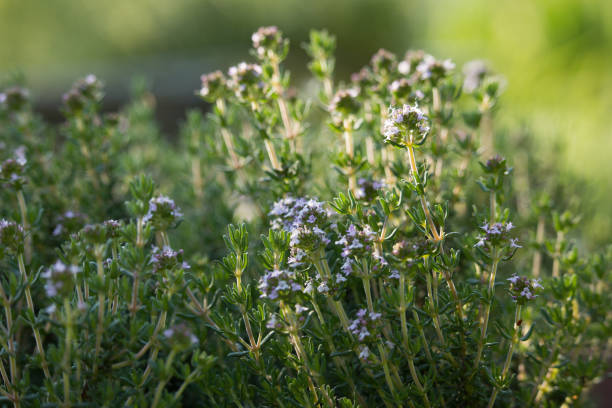 Thymus Flowers Thymus Flowers in the Sunset thyme photos stock pictures, royalty-free photos & images