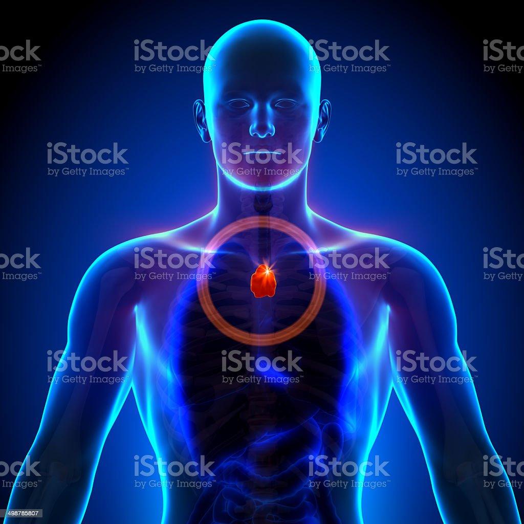 Thymusdrüsemännliche Anatomie Menschlicher Organexray Blick ...