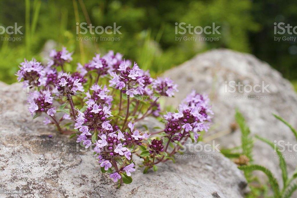 Thymus pulegioides stock photo