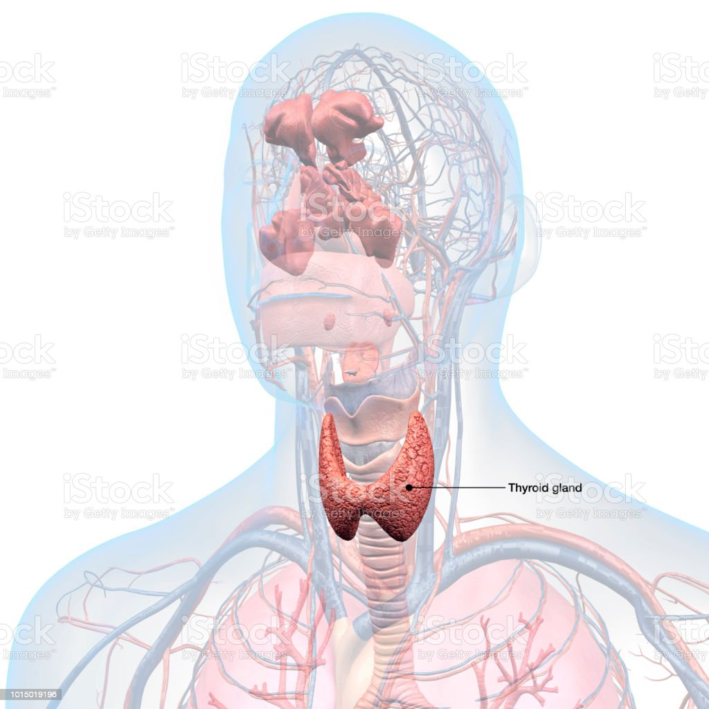 Thyroid Gland Labeled In Head And Throat Anatomy Stock Photo