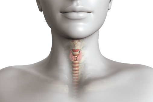 3D render, retouching and drawing.Thyroid gland on the trachea visible under transparent skin. Adobe RGB.
