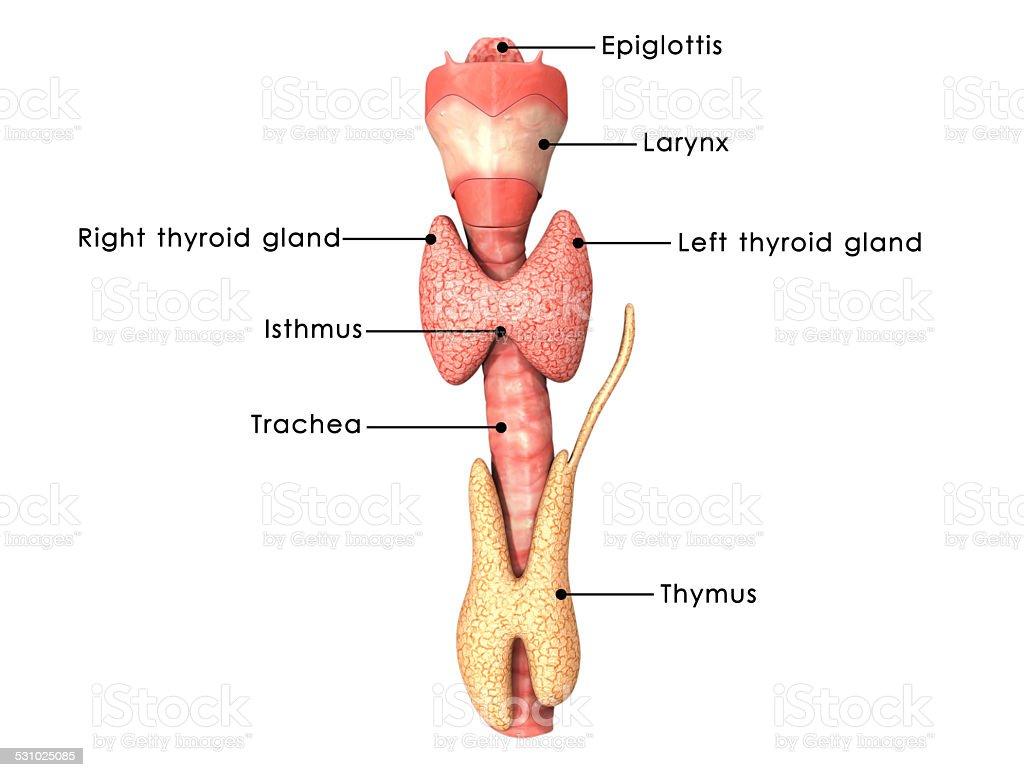 Thyroid gland stock photo