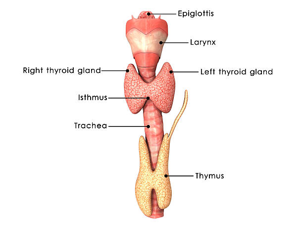 Thyroid gland Thyroid gland is one of the largest endocrine glands and consists of two connected lobes. The thyroid gland is found in the neck, below the thyroid cartilage. cartilage stock pictures, royalty-free photos & images