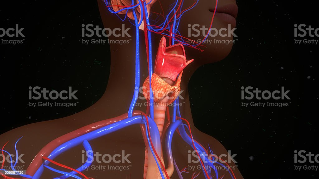 Thyroid Gland Stock Photo More Pictures Of Anatomy Istock