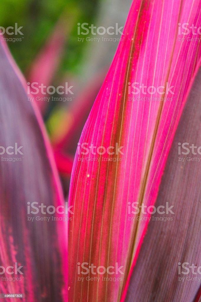 Ti plant stock photo