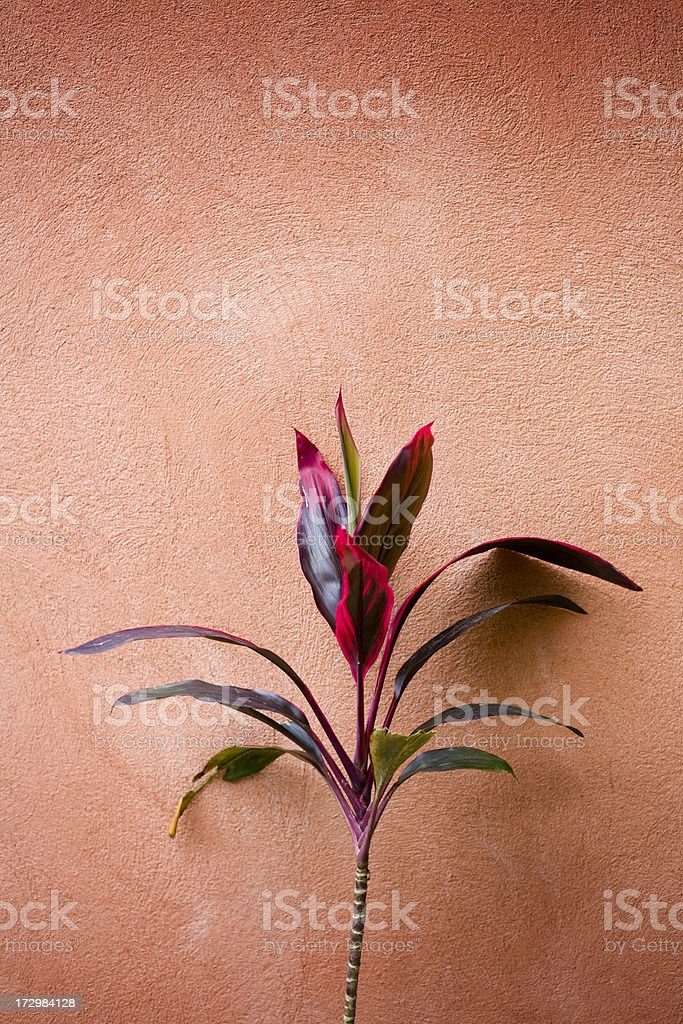 Ti Plant with Wall stock photo