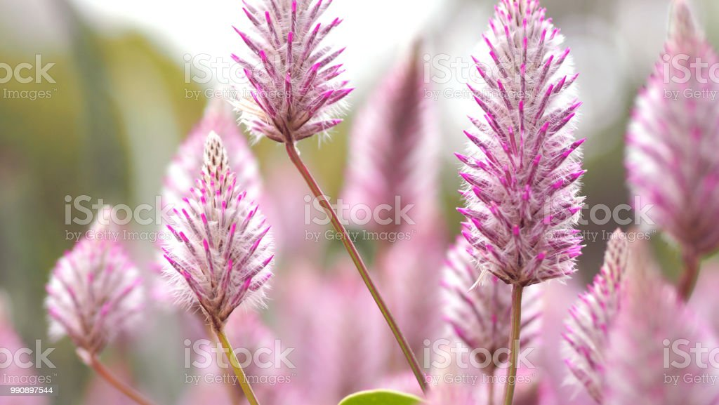 Tiarella Sky Rocket Pink Color Flowers Closeup Angle In Garden Of