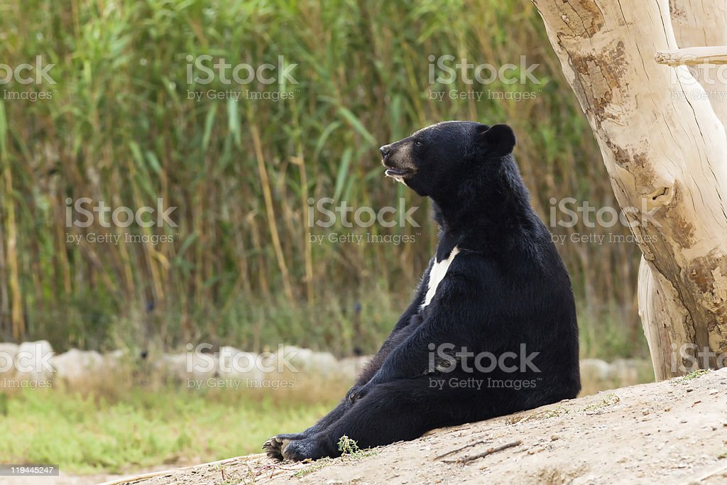 tibetan Bear sitting resting in nature bamboo forest stock photo