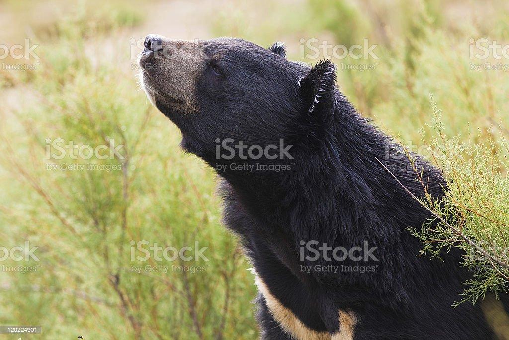 tibetan Black bear stock photo