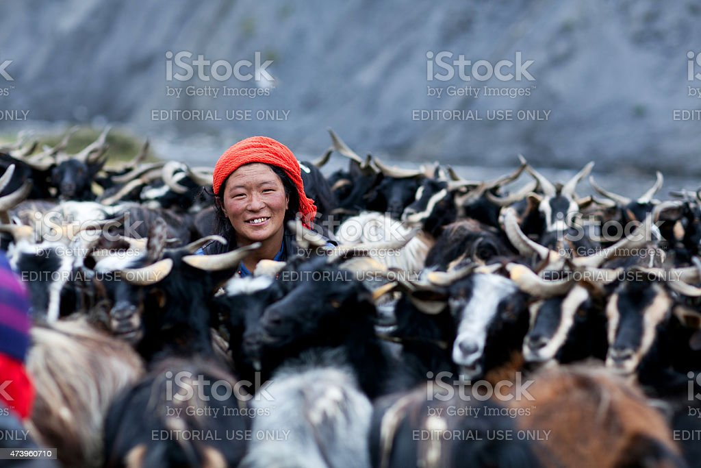 Tibetan drover milking a goat stock photo