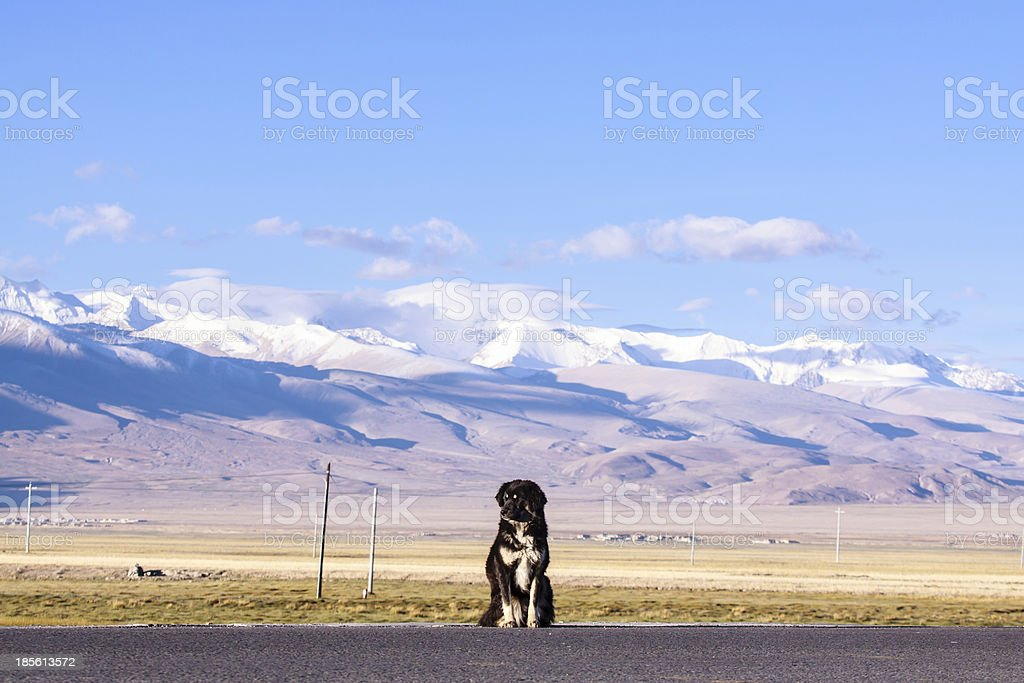 Tibetan mastiff royalty-free stock photo