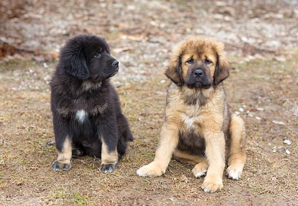Tibetan Mastiff puppies stock photo