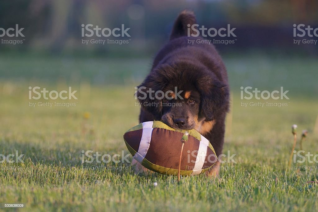 Tibetan mastiff puppy stock photo