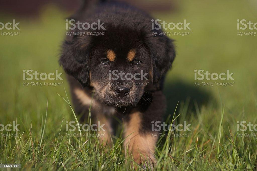 Tibetan mastiff puppy stock photo