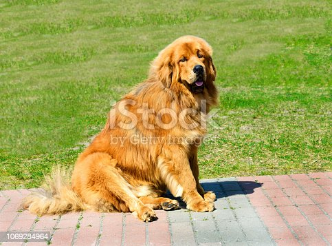The Tibetan Mastiff is in the park on the green grass.