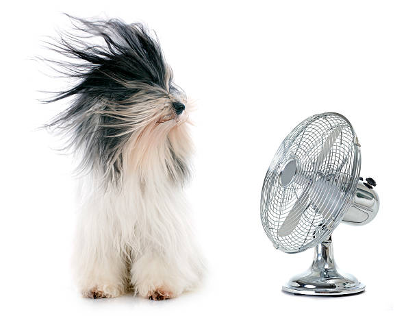 tibetan terrier and fan - blowing stock photos and pictures