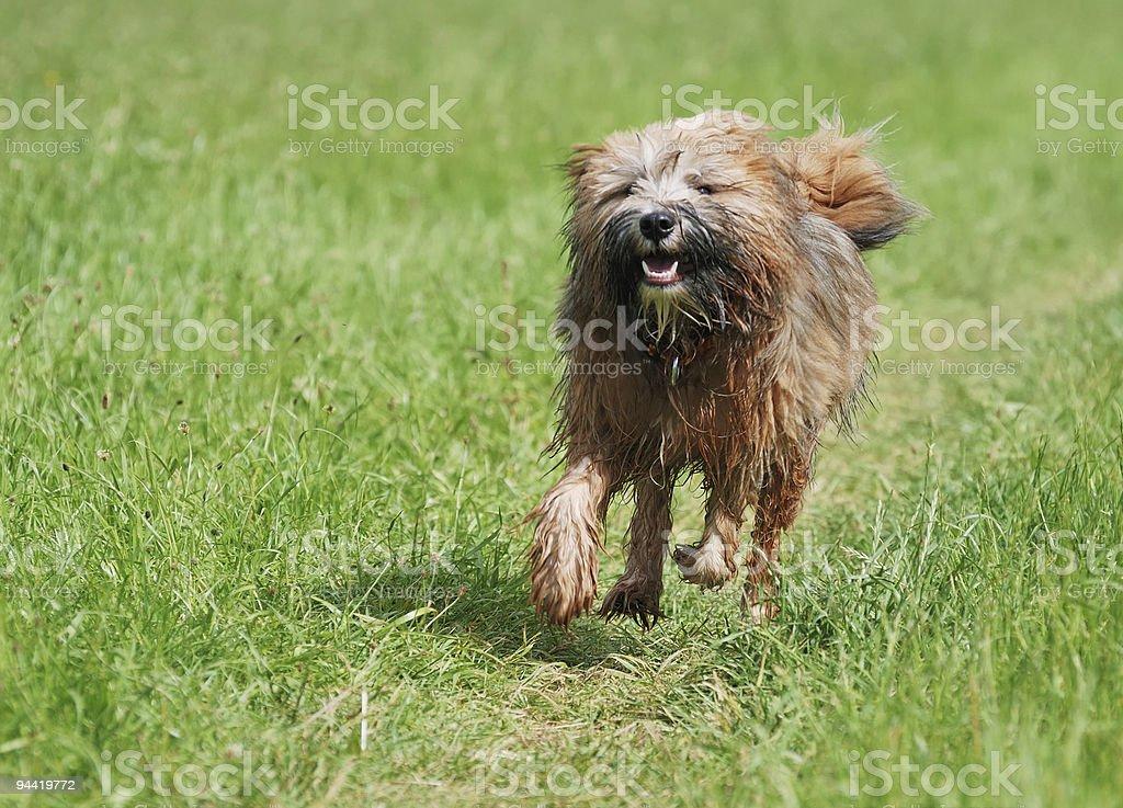 Tibetan terrier dog royalty-free stock photo