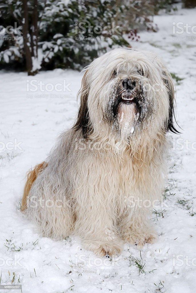 Tibet terrier Hund - Lizenzfrei Braun Stock-Foto