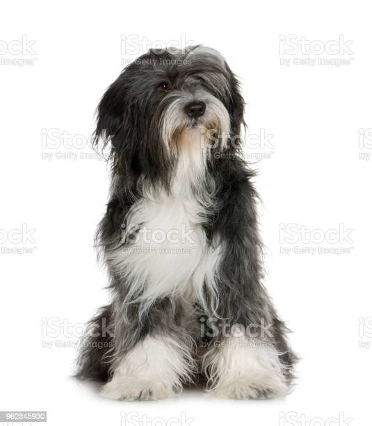 Tibetan terrier in front of a white background picture id962845930?b=1&k=6&m=962845930&s=612x612&h=y7ezkejeeruti85gquoqpuznapz3fw3lxzrvroy3gyg=