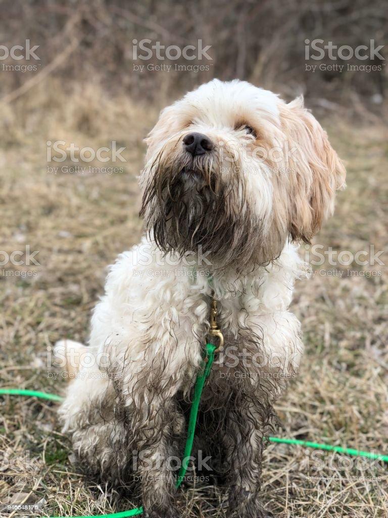 Tibetan terrier in mud stock photo