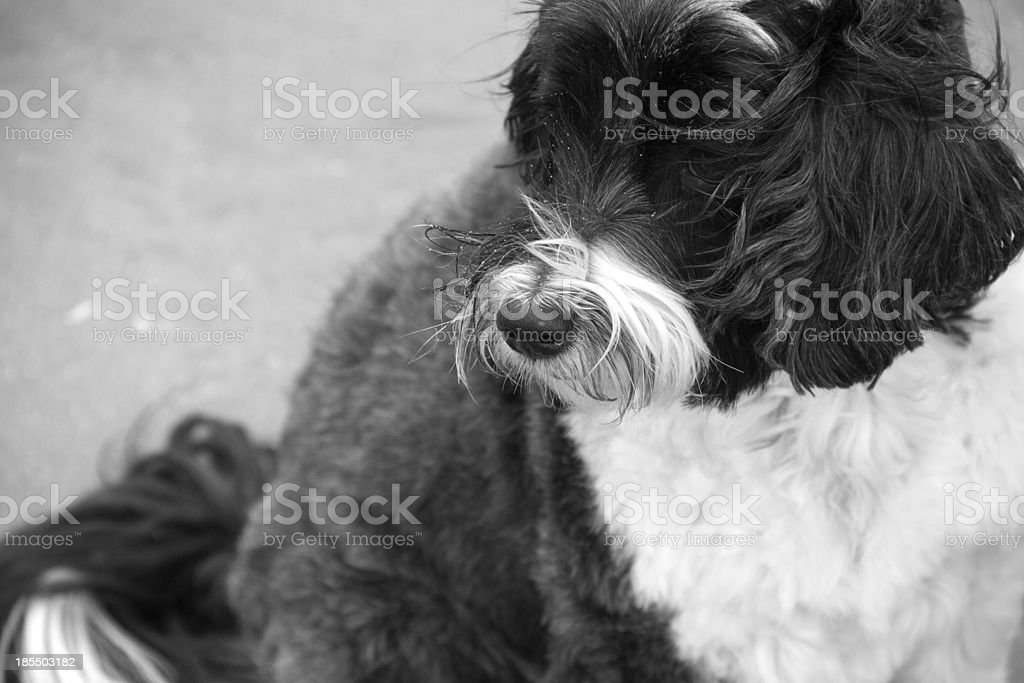 Tibetan Terrier on the beach. royalty-free stock photo