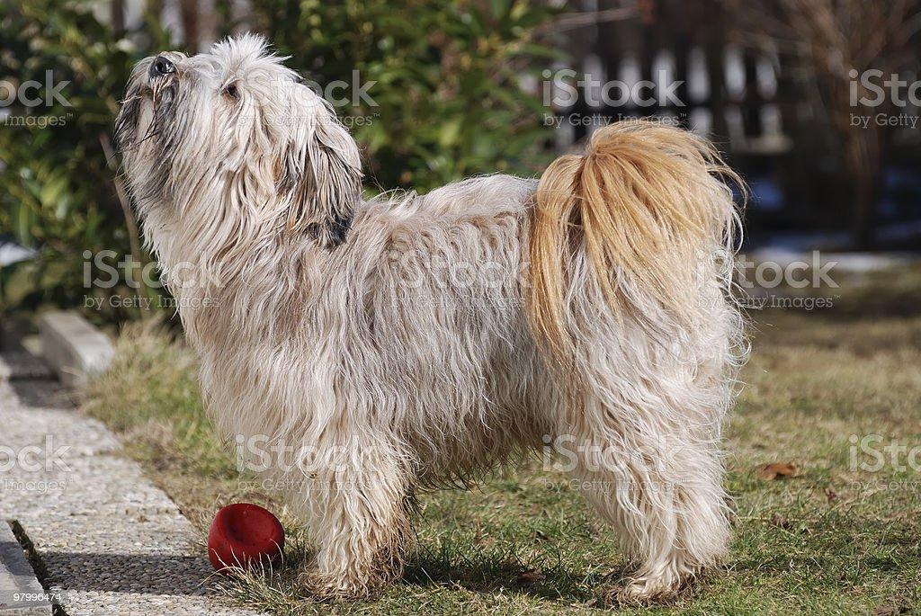 Tibetan Terrier royalty-free stock photo