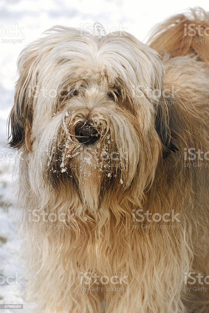 Tibetan Terrier portrait royalty-free stock photo