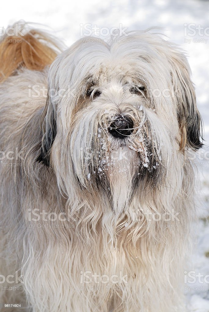 Tibetan Terrier Ritratto foto stock royalty-free
