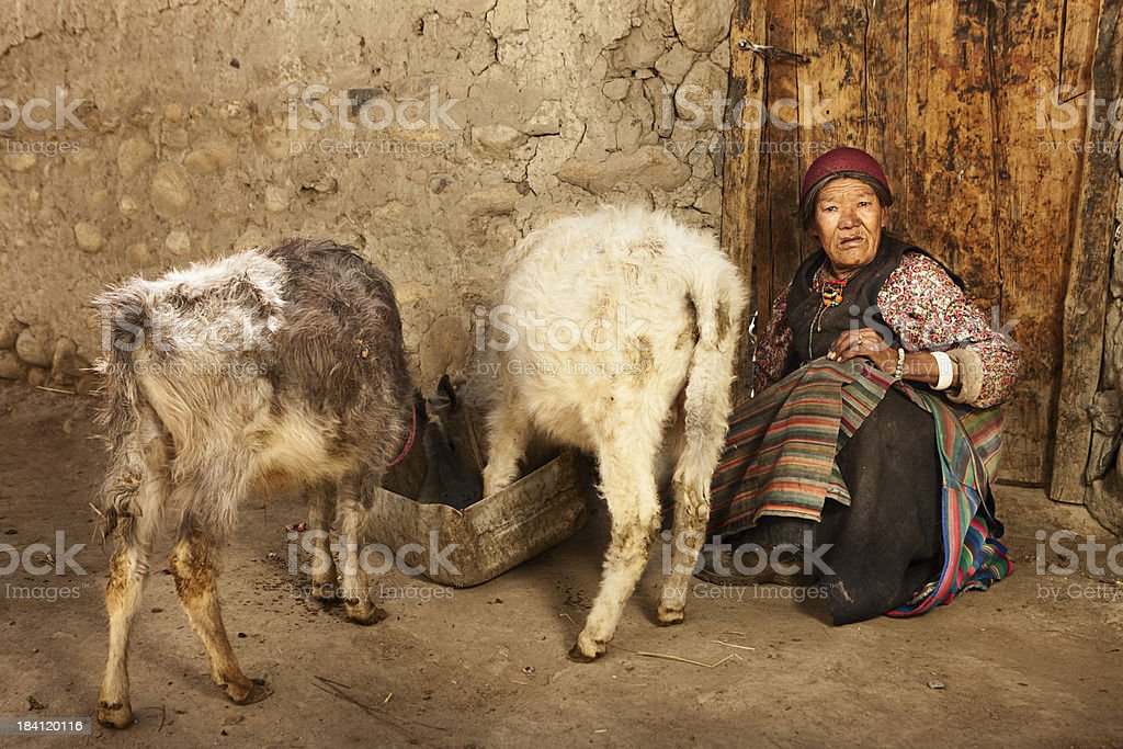 Tibetan woman feeding yaks stock photo