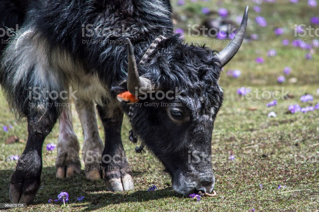 Tibetan yak eating grass in a pasture at Himalaya mountains royalty-free stock photo
