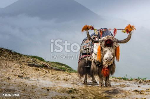 A Yak standing on the high mountains of Tibet